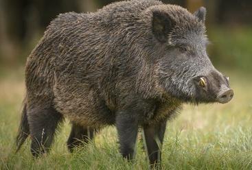 Wild Swine Becomes Danger For Tigers - वनराज के लिए ...