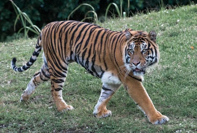 उत्तर प्रदेश के पीलीभीत टाइगर रिजर्व के जंगल की माला रेंज से सटे रिछौला गांव में बाघ ने दो लोगों को निवाला बना लिया। शुक्रवार सुबह किसान निंदर सिंह और उनके नौकर डोरीलाल पर बाघ ने हमला कर दिया।